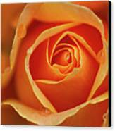 Close Up Of Rose Canvas Print