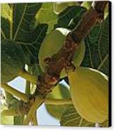 Close-up Of Two Large Figs Hanging Canvas Print