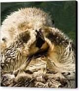 Closeup Of A Captive Sea Otter Covering Canvas Print