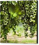 Clusters Of Grapes On The Vine At Fall Canvas Print