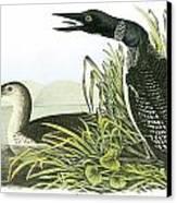 Common Loon Canvas Print by John James Audubon