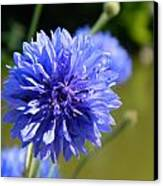 Cornflower Blue Canvas Print by Sharon Lisa Clarke