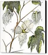 Cotton Plant, 1796 Canvas Print