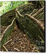Cypress Tree On Hawaii Canvas Print by Micah May