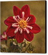 Dahlia Canvas Print by Sandy Keeton