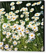 Daisy Day's Canvas Print by Karen Grist