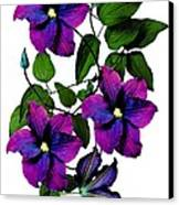 Deciduous Climber (clematis Warsaw Nike) Canvas Print by Archie Young