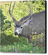 Deer Without Headlights Canvas Print