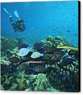 Diver Watching Blue Tangs, Doctorfish Canvas Print by George Grall