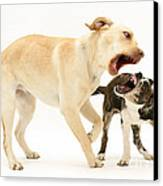 Dogs Playing Canvas Print by Mark Taylor