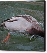 Duck Bathing Series 2 Canvas Print by Craig Hosterman