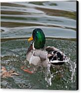 Duck Bathing Series 6 Canvas Print by Craig Hosterman