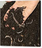 Earthworms In Soil Canvas Print by Sheila Terry