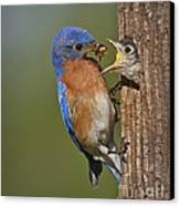 Eastern Bluebird Feeding Chick Canvas Print
