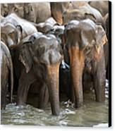 Elephant Herd In River Canvas Print
