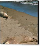 Elephant Seals Molting Canvas Print by Steven Ainsworth