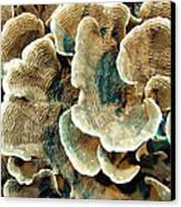 Elephant Skin Coral (pachyseris Sp.) Canvas Print by Matthew Oldfield