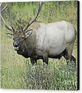 Elk Bugle Canvas Print by Barry Shaffer