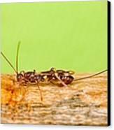 Emerald Ash Borer Parasite Canvas Print by Science Source