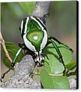 Emerald Fruit Chafer Beetle Canvas Print