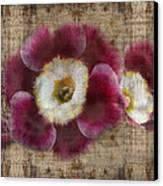 English Primrose  Canvas Print by Barbara  White