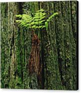 Epiphytic Fern Growing On Redwood Canvas Print