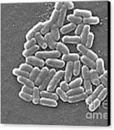 Escherichia Coli, Sem Canvas Print by CDC/Science Source