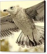 Evangeli-gull Canvas Print by Ed Smith