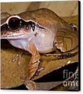 Evergreen Robber Frog Canvas Print by Dante Fenolio