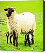 Ewe And Lambs Canvas Print by Tom Gowanlock