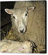 Ewe And New Born Lamb Canvas Print