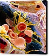 F. Colour Sem Of Macrophage & Blood Cells In Liver Canvas Print by Prof. P. Mottadept. Of Anatomyuniversity \la Sapienza\