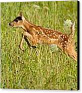 Fawn Bounce  Canvas Print by Glenn Lawrence