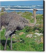 Feathers By The Sea Wild Female E African Ostrich Southern Race Cape Of Good Hope South Africa Canvas Print