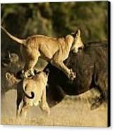Female African Lions Pounce On An Canvas Print by Beverly Joubert