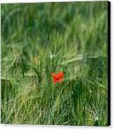 Field Of Wheat With A Solitary Poppy. Canvas Print