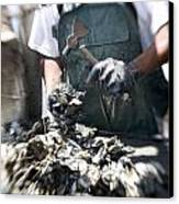 Fisherman Separating Clumps Of Oysters Canvas Print