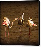Flamingos Argue Canvas Print