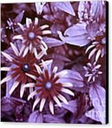 Flower Rudbeckia Fulgida In Uv Light Canvas Print by Ted Kinsman