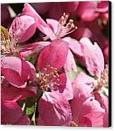 Flowering Crabapple In Bloom Canvas Print by Mark J Seefeldt