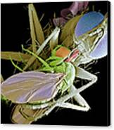 Fly Eating Another Fly, Sem Canvas Print by Volker Steger
