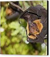 Flying Foxes Canvas Print by Anek Suwannaphoom