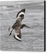 Flying Willet Canvas Print by Chris Hill