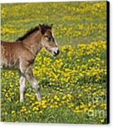 Foal In Field Canvas Print by Conny Sjostrom