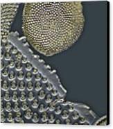 Fossil Diatoms, Light Micrograph Canvas Print by Frank Fox