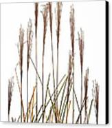 Fountain Grass In White Canvas Print by Steve Gadomski