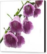 Foxglove Flowers Canvas Print