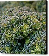 Fresh Broccoli Canvas Print by Susan Herber
