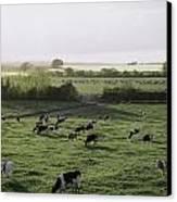 Friesian Bullocks, Ireland Herd Of Canvas Print