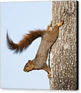 Frisky Little Squirrel With A Twirly Tail Canvas Print by Bonnie Barry